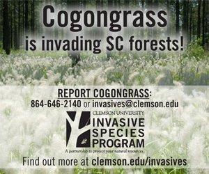 Cogongrass