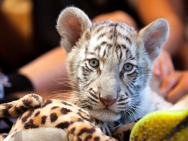 Tiger-cub-blue-eyes-Myrtle-Beach-Safari.png