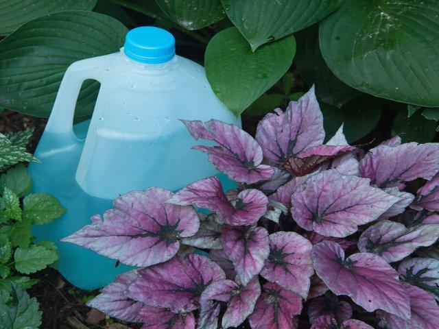 Milk-jug-watering.png