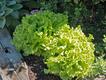 Black-Seeded-Simpson-Lettuce-Credit-LA-Jackson_edited-1.png