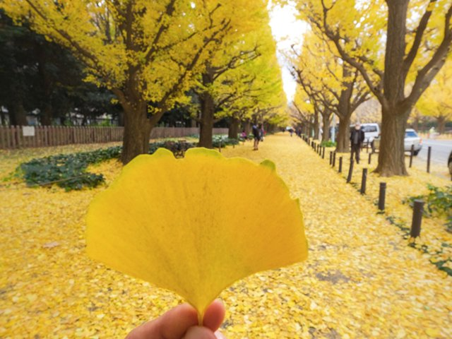 Let S Talk About Ginkgo Trees Www Scliving Coop