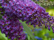SCL Butterfly Bush.png