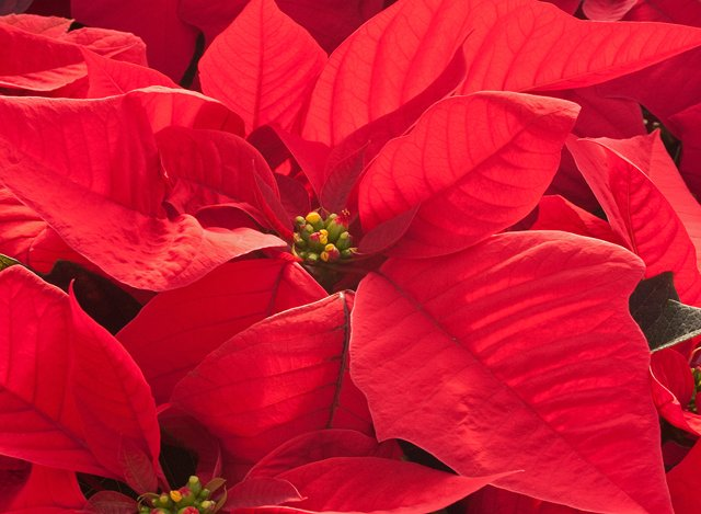 Poinsettia cropped.png