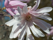 SCL Star Magnolia.png