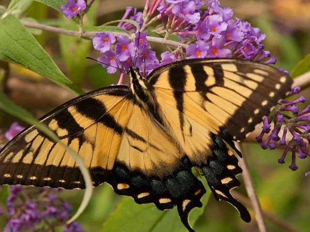 Butterfly-gardens-SC-Gardener-yellow-swallowtail .png
