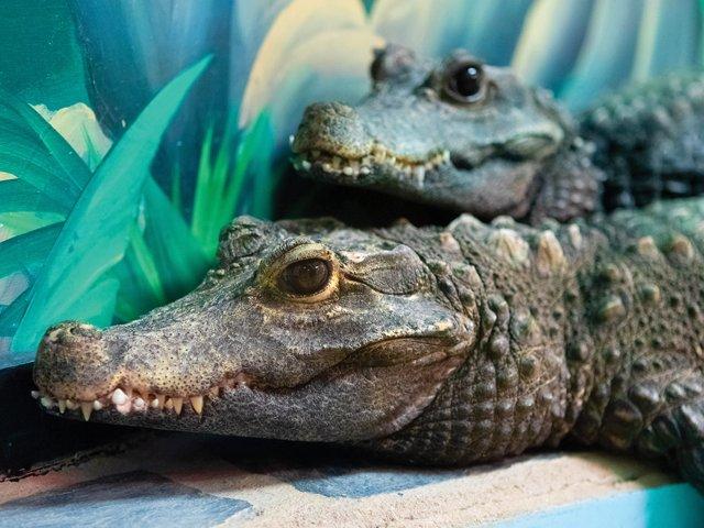 Cypress-Gardens-Gators-Swamparium.png