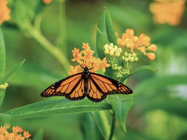 Cypress-Gardens-Monarch-Butterfly.png