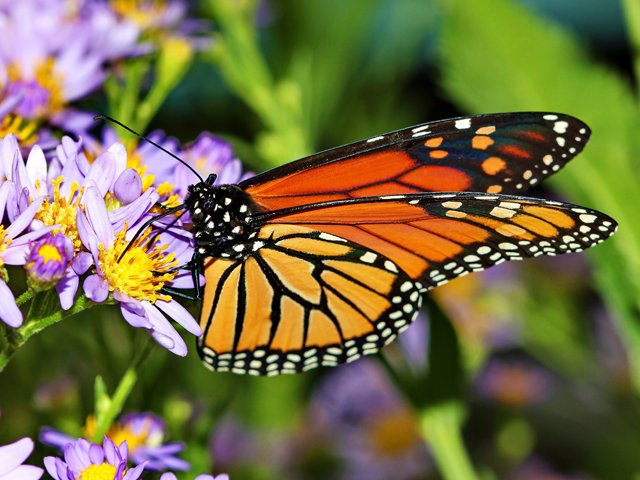 Making a difference for Monarchs