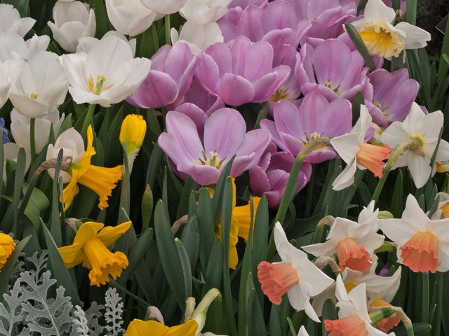 SCL Spring Bulbs.png