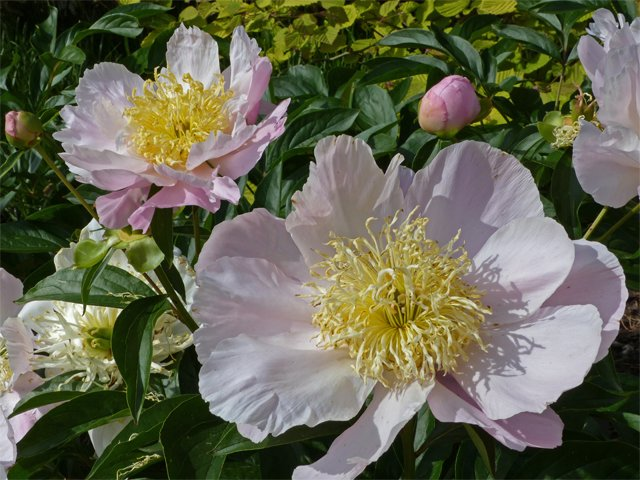 SCL Garden Lace Peony.png