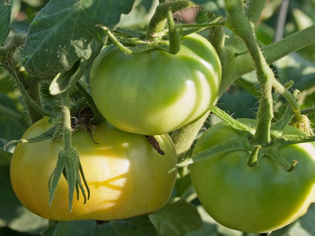 Late-season-tomatoes-L.A.-Jackson.png