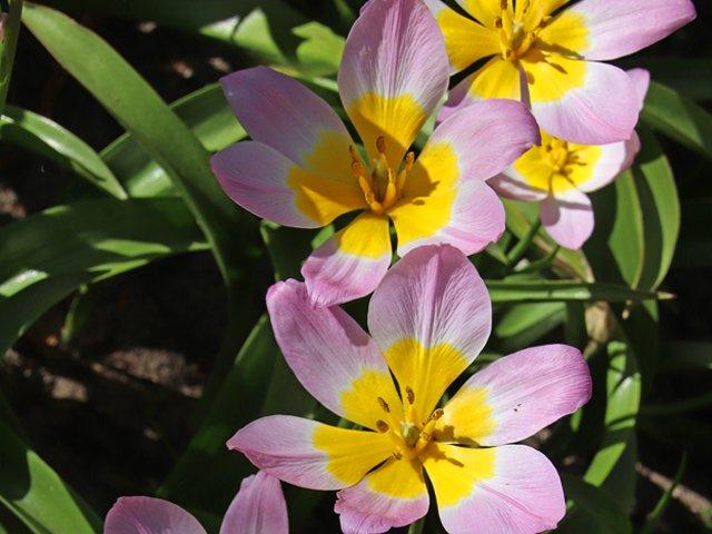 Lilac-Wonder-SC-Gardener-L.png