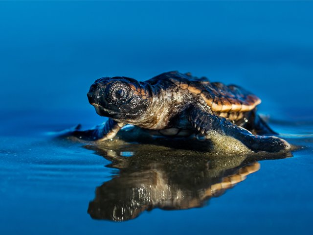Saving-sea-turtles-loggerhead-hatchling.png