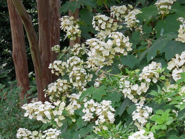 Oakleaf Hydrangea cropped.png
