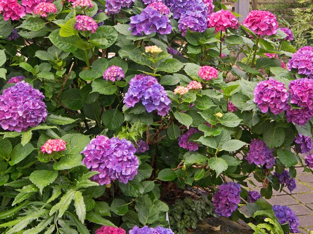 SCL French Hydrangea.png