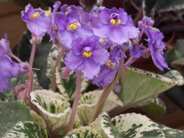 African-violet-SC-Gardener.png