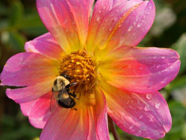 Dahlia-bee-by-LA-Jackson.png