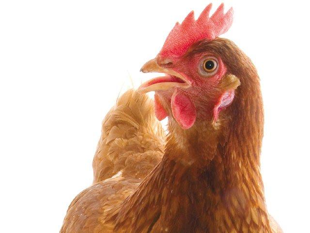 Gardener_Manure_Chicken.jpg
