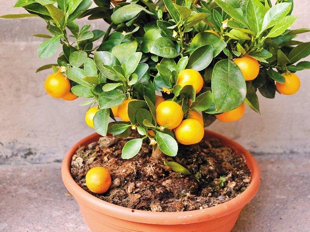 Gardener_Overwintering_Citrus.jpg