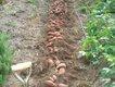 sweet_potatoes.jpg